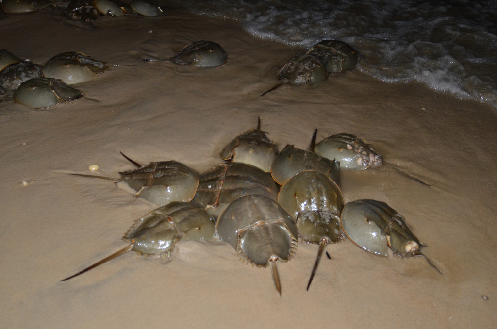 Horseshoe-crab-tagging_5-22-2013_007
