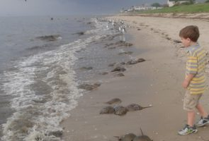 Youngster and the horseshoe crabs on Villas Beach